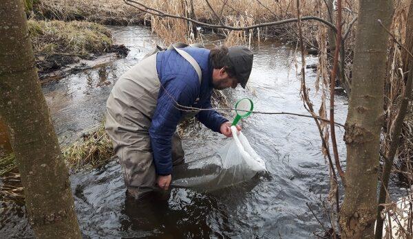 Zarybianie dopływu rzeki Łosośna - wiosna 2018.